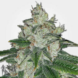 Chronic Bud Cannabis Seeds MSNL Promo Discount