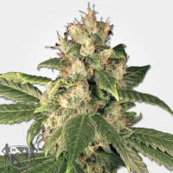 Sensi Kush Cannabis Seeds MSNL Promo Discount