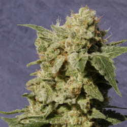 Diesel Glue Cannabis Seeds Original Seeds Store Coupon Code