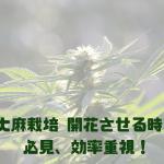 大麻栽培 開花させる時期 必見、効率重視!