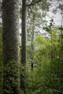 kauri trees in new zealand, sv cavalo
