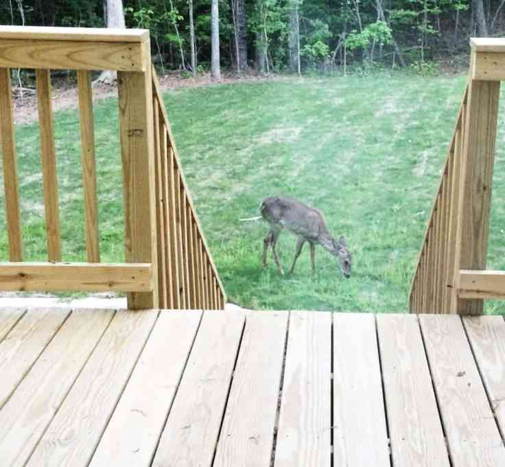 deer in backyard