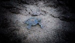 Baby turtle headed back to the ocean in Tortuguero