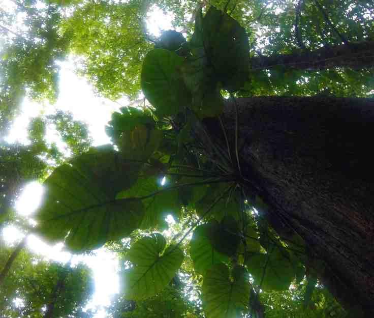 Trees in Manuel Antonio Park