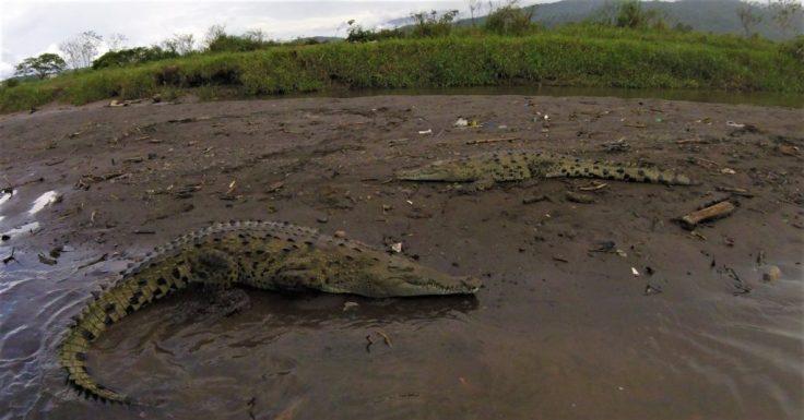 Crocodiles in Costa Rica