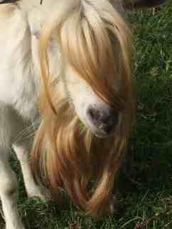 Long haired goat in Villa de Leyva