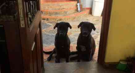 Two labs House sitting in Villa de Leyva