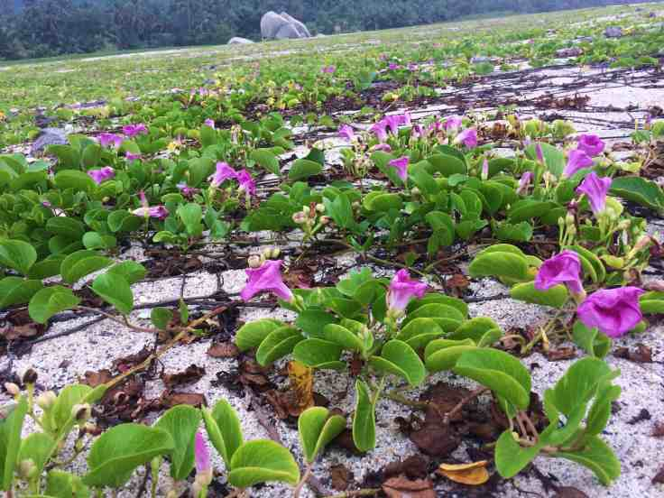 Flowers on the beach in Tayrona National Park north of Cartagena, Colombia