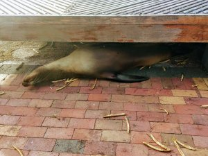 Sea Lion under the dock