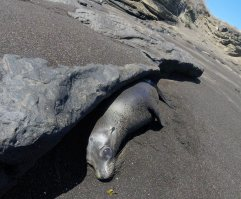 Baby sea lion resting