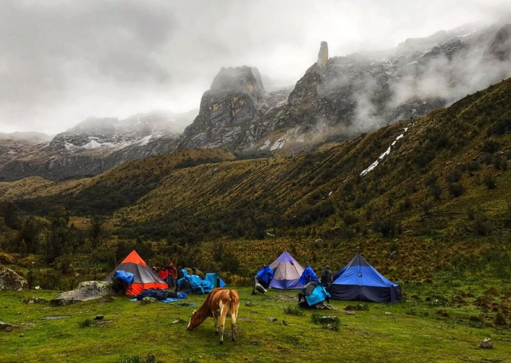 Cows wander freely through the campgrounds on the Santa Cruz Trek