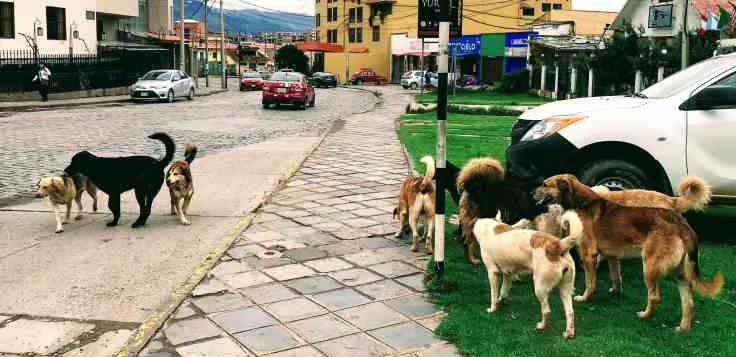 Pack of dog on the street