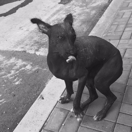 Peruvian hairless dog