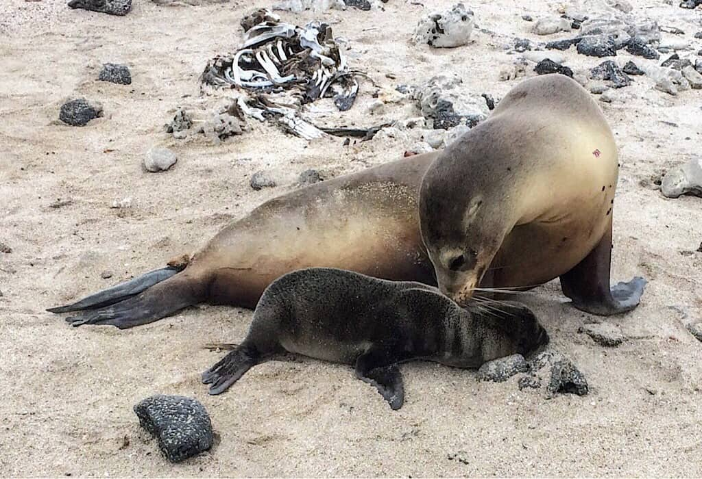 Galapagos Seal Lions