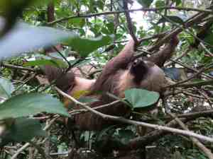 sloth at the Jaguire rescue center