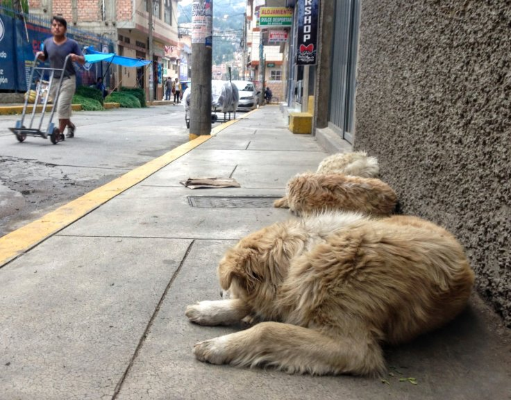 Sleeping Streed dogs for South American Travel
