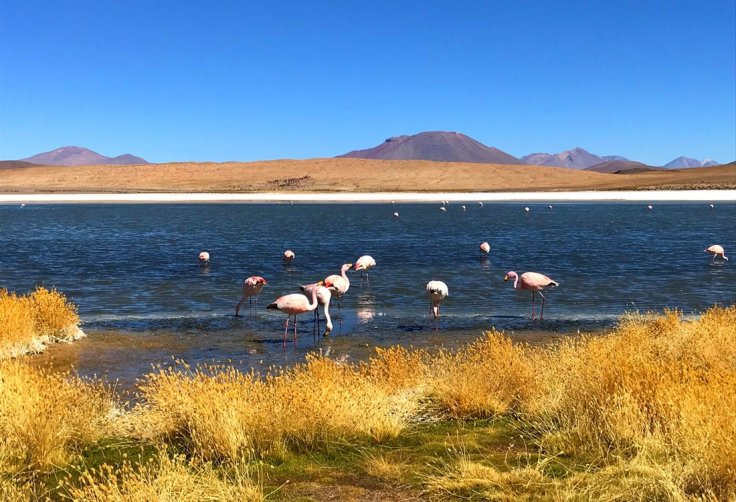 Pink Flamingos near Uyuni Salt Flats
