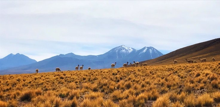 Vicuna heard in the Atacama