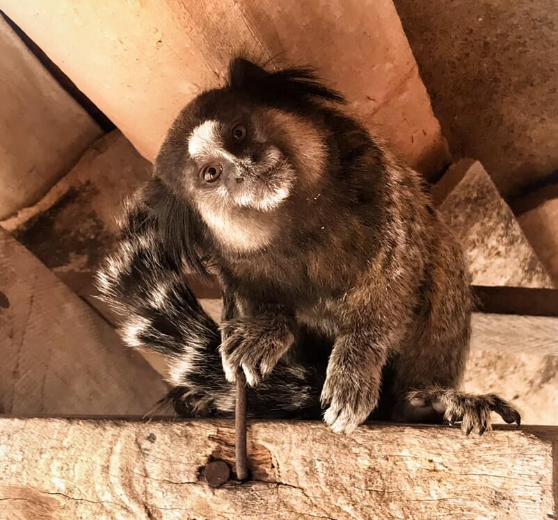 A Marmoset Monkey with his head cocked to the side in curiosity.