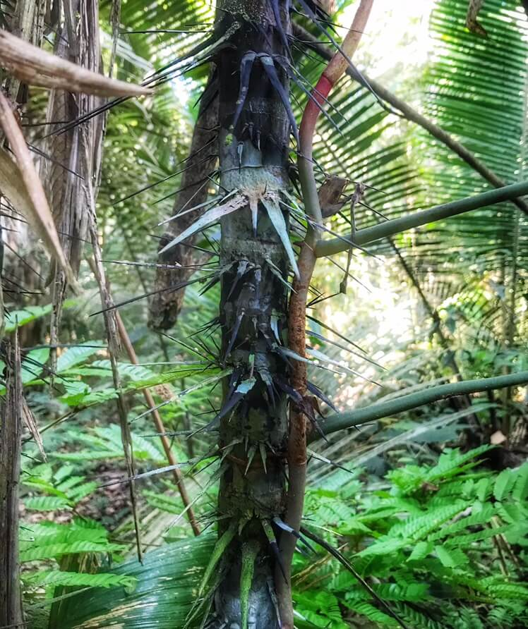 Tree used in the Amazon of Brazil to make poison dart guns