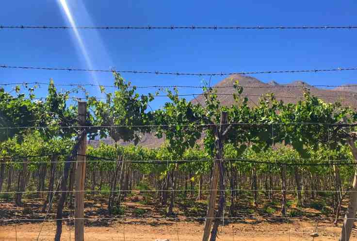 Elqui Valley vineyard near our campground