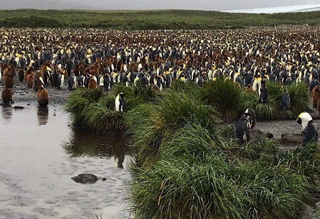 King Penguin colony in South Georgia