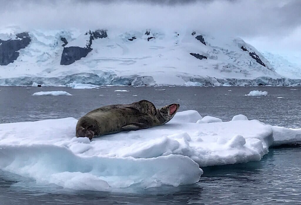 Leopard Seal in Antarctica