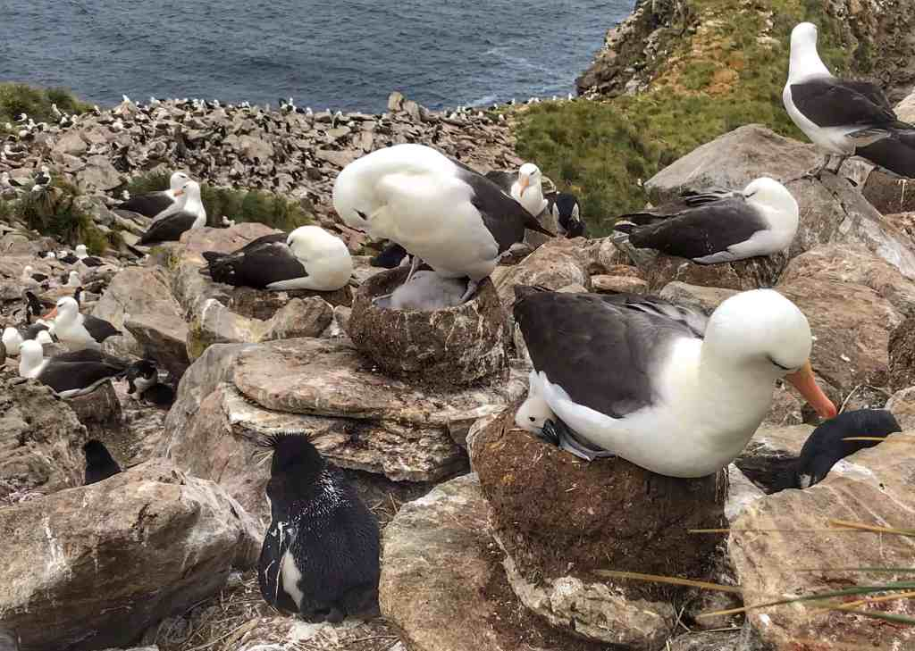 The tiny Albatross baby in the foreground looking smug after squirting all over the Penguin behind him.