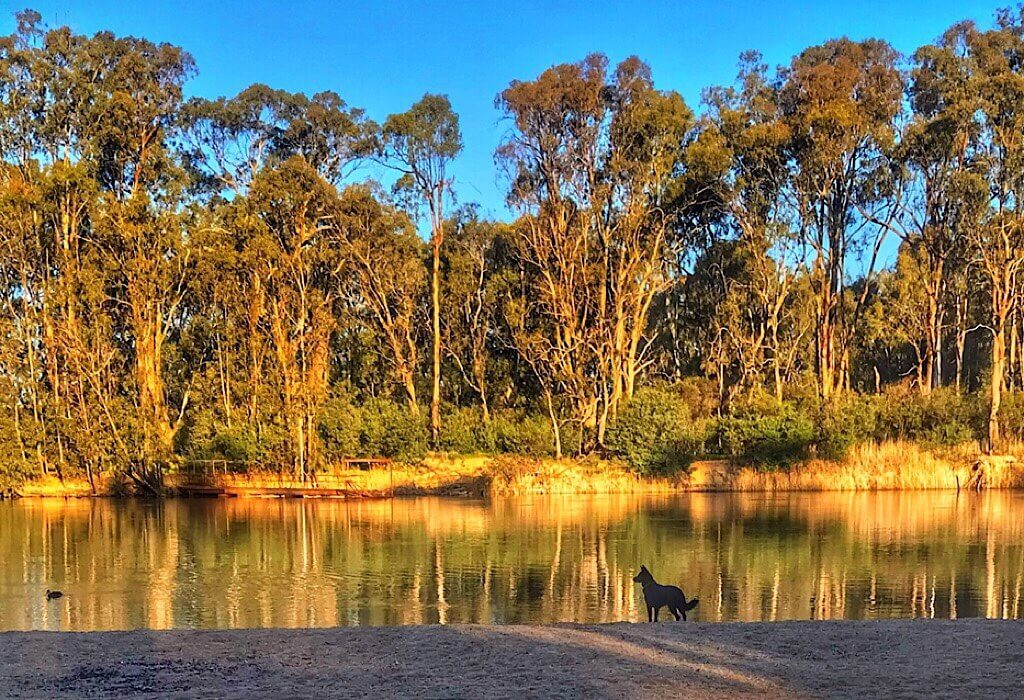 A dog watching ducks in the the Murray River at sunset