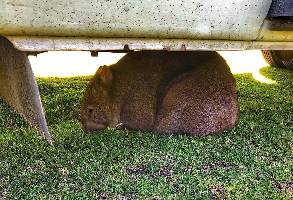 Wombat under Lil' Beaut in Kangaroo Valley