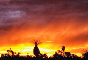 A setting sun with brilliant yellow on the horizon and orange above it. A grass tree stands in silhouette iconic to Western Australia
