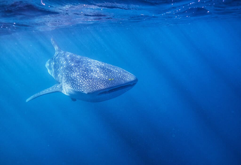 A whale shark just tasting the water