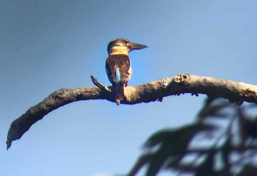 Blue-winged Kookaburra sitting on a branch