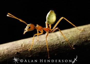 The beautiful green tree ant with a red body and green abdomen.