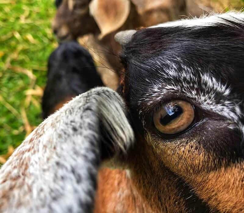 Close up of a baby goat looking into the camera