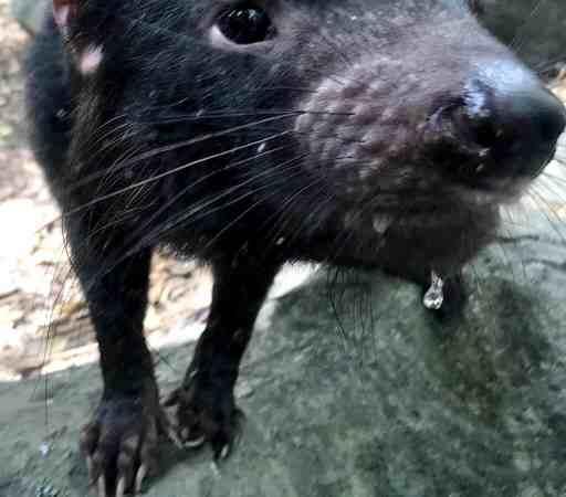 Up close Tasmanian Devil