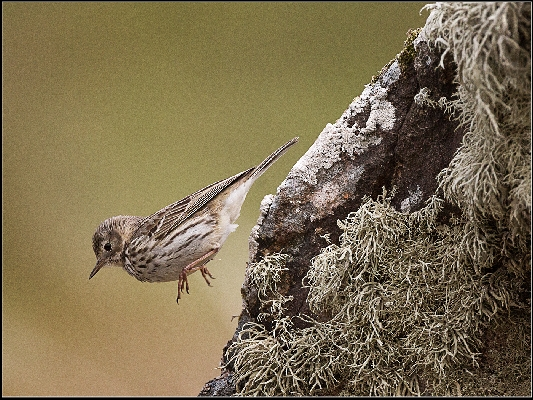 Juvenile Meadow Pipet About To Land
