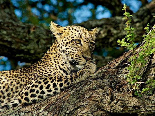 Leopard on Acacia Branch