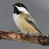 Black-Capped Chickadee  (Licensed under CC BY-SA 3.0 via Wikimedia Commons)
