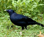 Bowerbird (by Brett Donald. Licensed under CC BY-SA 2.5 via Wikimedia Commons)