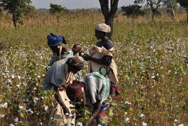 zimbabwe_cotton_picking