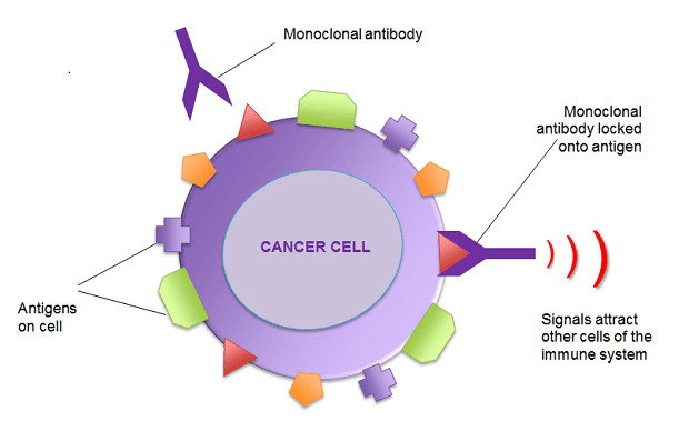 How-Is-Cancer-Treated-by-Monoclonal-Antibody-Drugs Editorials Recent Posts