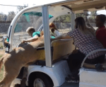 Video: Lion Climbs Into A Zoo Shuttle Car Filled With Tourists