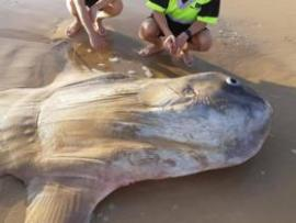 Fisherman crouch down behind a massive sunfish found on a beach in South Australia