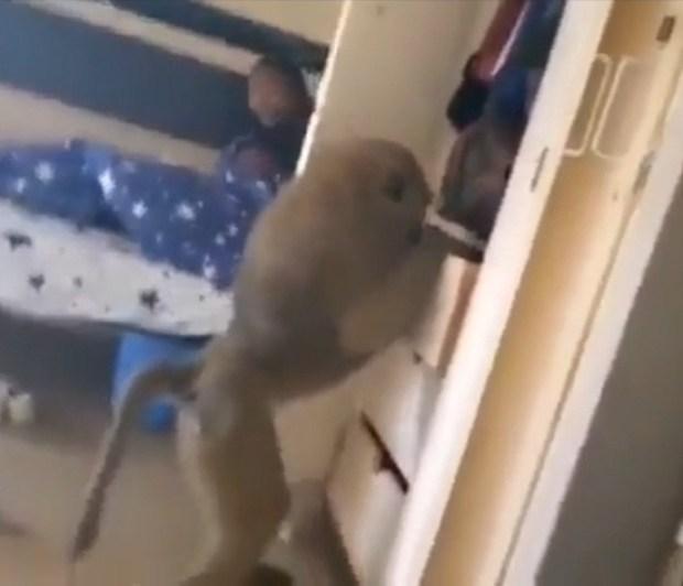 Monkey invades female hostel at Multimedia Univeristy in Nairobi  (video)