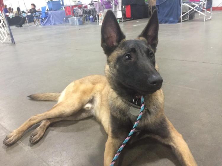 Louisville dog show