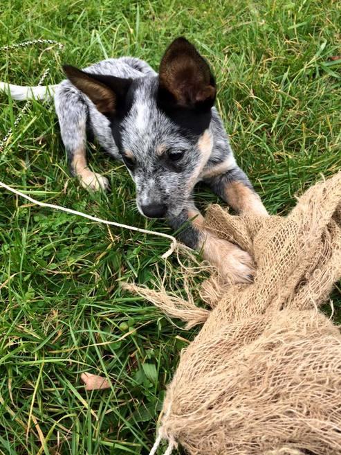 Cattle dog puppy