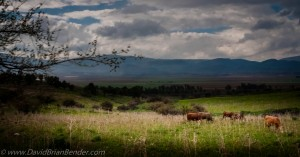 Cattle grazing in Golan Heights, overlooking the Hula Valley in Israel. Photo: Dave Bender.