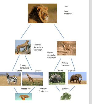 Lion Life Cycle Diagram