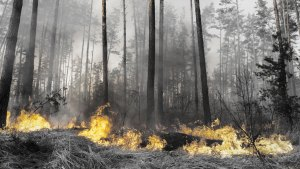 california wildfire in a pine forest with patches of flames in the brush underneath the tree canopy